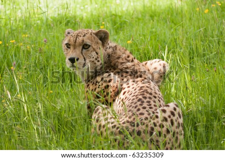 cheetah looking back while crouching in long grass