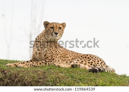 cheetah lying - stock photo