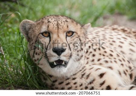Cheetah lying down - stock photo