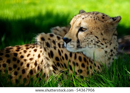 Cheetah lying in shaded grass - stock photo