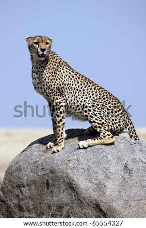 Cheetah male on lookout, Serengeti National Park, Tanzania, East Africa