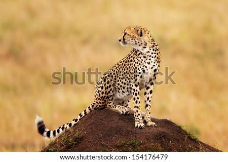 Cheetah male on termite hill in Masai Mara, Kenya - stock photo