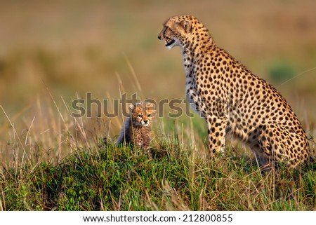 Cheetah mother Amani with one of her seven weeks old cubs looking for food in Masai Mara, Kenya - stock photo