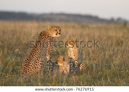 Cheetah mother and cubs on grassland plain - stock photo