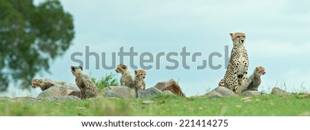 Cheetah mother and family - stock photo