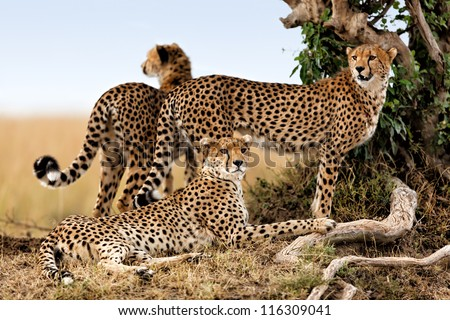 Cheetah mother and two older cubs, Masai Mara, Kenya - stock photo