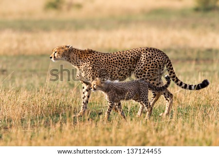 Cheetah mother with cub, Masai Mara, Kenya - stock photo