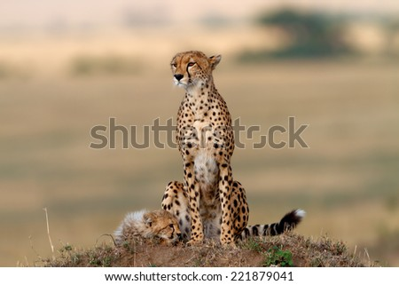 Cheetah mother with tired cub on a termite hill in Masai Mara, Kenya - stock photo