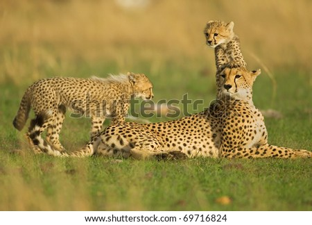 Cheetah Mother with two playfull cubs - stock photo