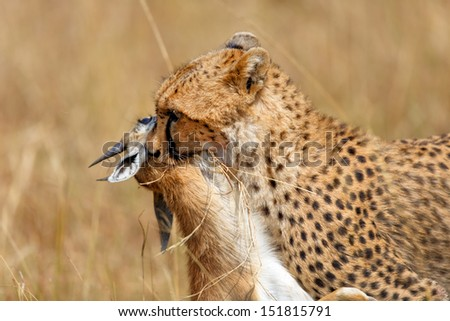 Cheetah Narasha with her just hunted prey, a Thomson Gazelle, in Masai Mara, Kenya - stock photo