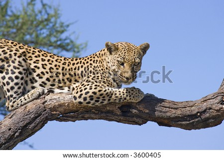cheetah on branch - stock photo