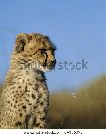 Cheetah on open grassland - stock photo