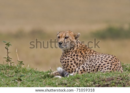 Cheetah on the look out, Serengeti NP, Tanzania, East Africa - stock photo