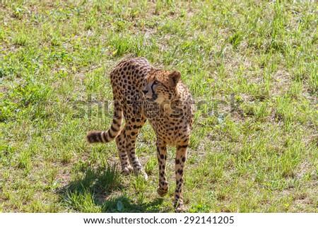 Cheetah on the prairie. Acinonyx jubatus. - stock photo