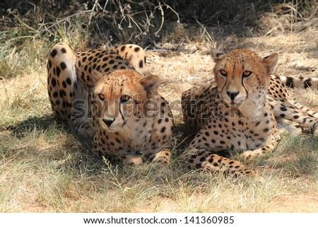 cheetah real king feline predator africa animal fastest mammal in the world - stock photo