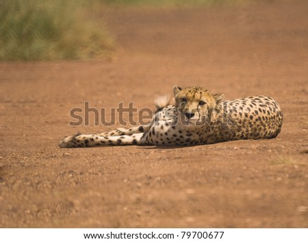 Cheetah relaxing in the road