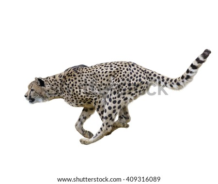 Cheetah  Running ,Isolated on white Background