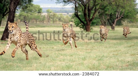 Cheetah running sequence - stock photo