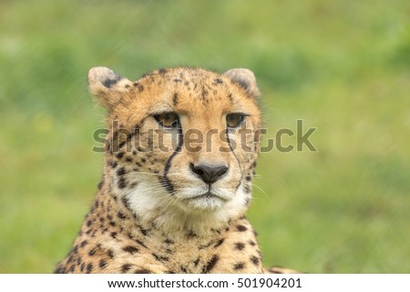 Cheetah's face