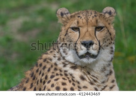 Cheetah - Series of closeups - Schoenbrunn Tiergarten - Vienna - stock photo
