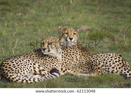 Cheetah sisters on grassland - stock photo