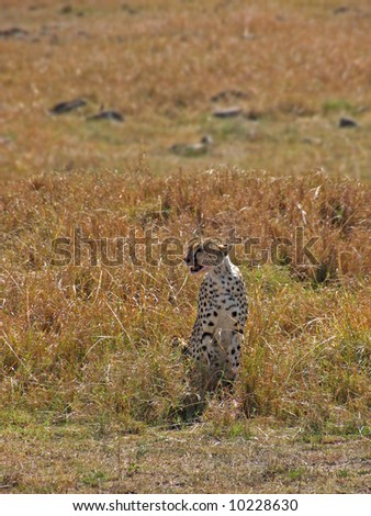 Cheetah sits alone in the Masa Mari park, kenya