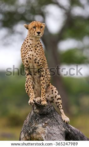 Cheetah sits on a tree in the savannah. Kenya. Tanzania. Africa. National Park. Serengeti. Maasai Mara. An excellent illustration. - stock photo