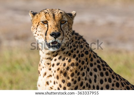 Cheetah sitting and looking at the savannah - stock photo