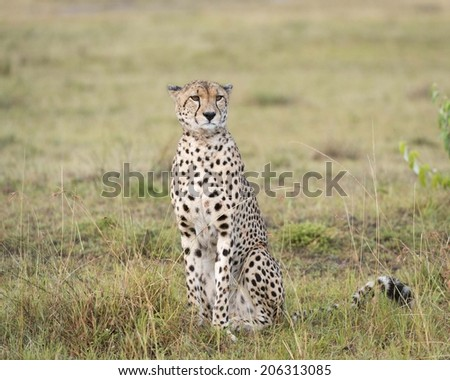 Cheetah Sitting in Grass