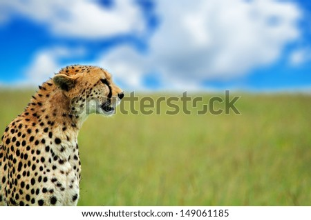 cheetah sitting in the high grass looking at camera - savannah in the national park masai mara in kenya - stock photo