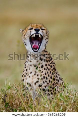 Cheetah sitting in the savanna. Close-up. Kenya. Tanzania. Africa. National Park. Serengeti. Maasai Mara. An excellent illustration. - stock photo