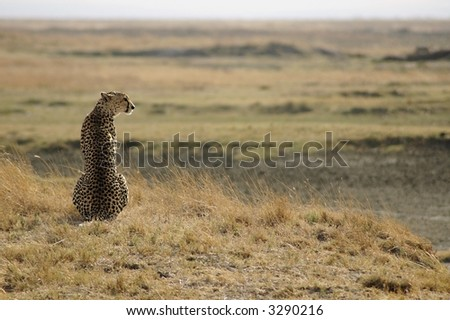 Cheetah sitting tall looking proud