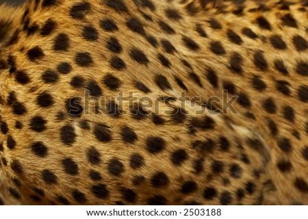 Cheetah skin - stock photo