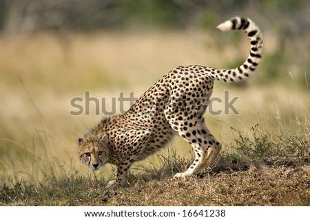 Cheetah snuffing - stock photo