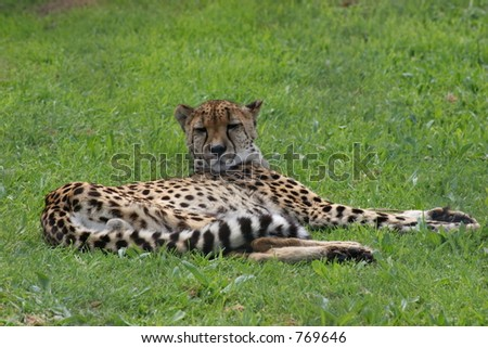 Cheetah, Spier, South Africa - stock photo