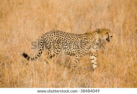 Cheetah stalking in long grass