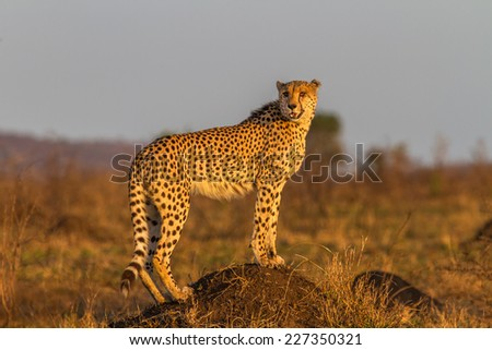 Cheetah Standing on Termite Mount at Kruger National Park, South Africa - stock photo