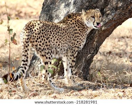 Cheetah standing tree in the shade - stock photo