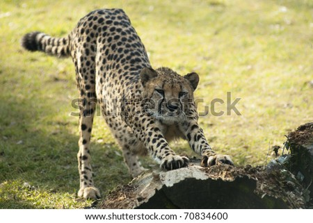 Cheetah stretching under a tree