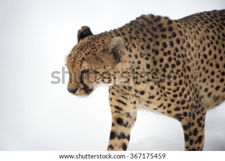 Cheetah The Cheetah is a carnivorous mammal that inhabits most of Africa and the middle East.
