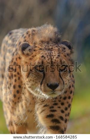 cheetah very close up - stock photo