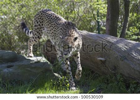 Cheetah Walking - stock photo