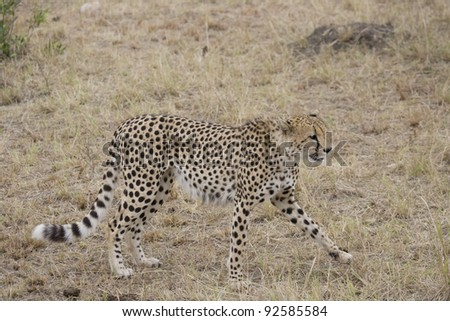 Cheetah walking across the Masai Mara