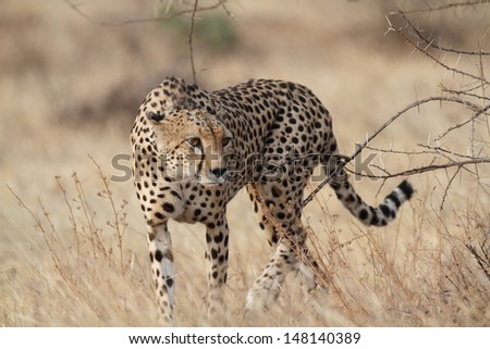Cheetah walking and looking for prey - stock photo