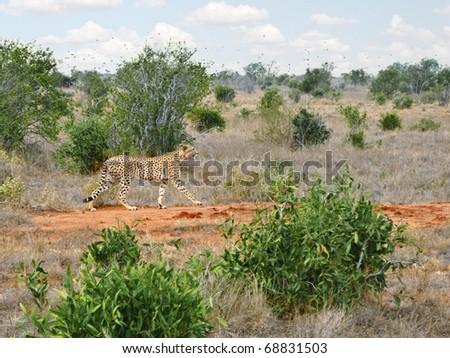 Cheetah walking in african savannah - stock photo