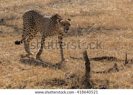 Cheetah walking in dry grassland taken in the Masai Mara Kenya.