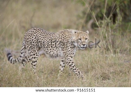Cheetah walking in the Masai Mara