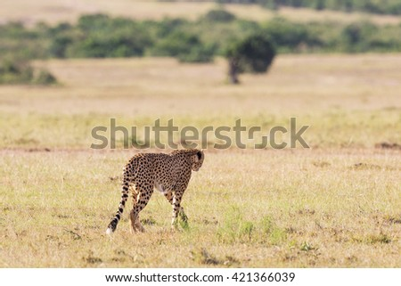 Cheetah walking over the savannah - stock photo