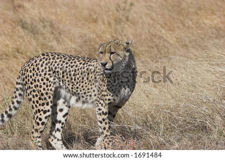 Cheetah watchful, looking around, Acinonyx jubatus; - stock photo