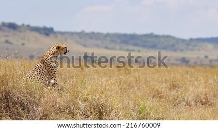 Cheetah watching over the Kenyan plains - stock photo